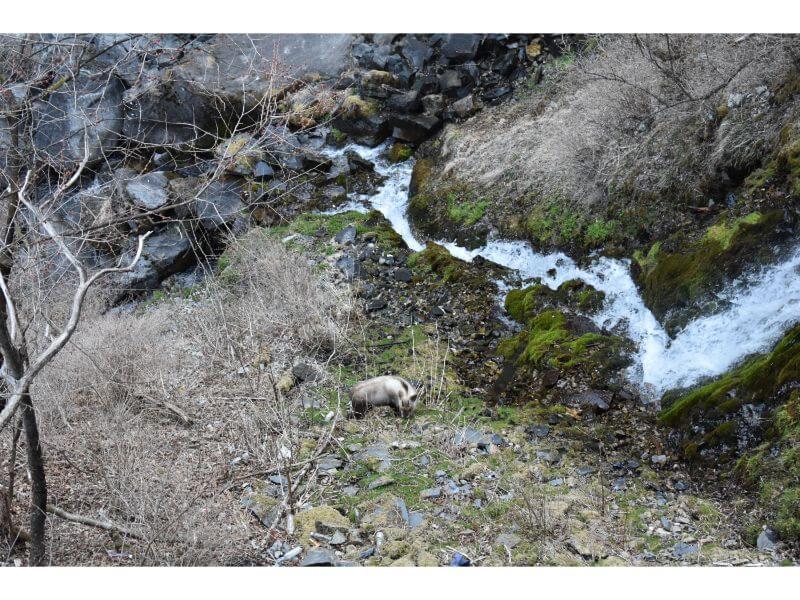 華厳の滝にいたカモシカ